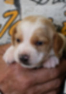 2020-05-07 Beagles M5966 1.jpg