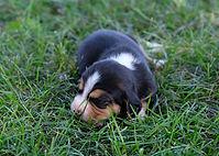 2020-09-15 Beagles F1 Maggie Buddy.jpg