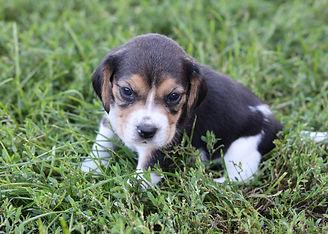 2021-09-01 Beagles M2858 3 Penny Batman (27).jpg