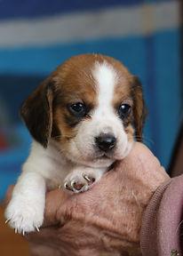 2021-01-01 Beagles F3994.jpg