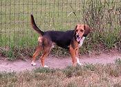 2018-06-26 Beagle Buddy_092 2.JPG