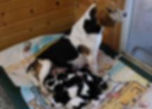2020-03-08 Beagles Sadie with Litter.JPG