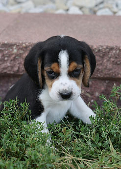 2021-09-09 Beagles M2842 3 Penny Batman (61).jpg
