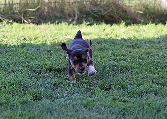 2021-06-23 Beagles Willow Buddy (163).jpg
