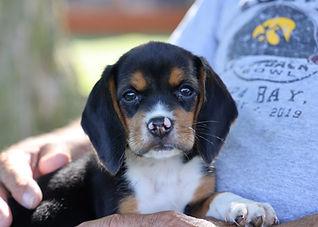 2021-06-13 Beagles Pixie Camo Buddy (12)