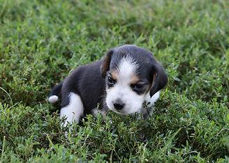 2021-09-01 Beagles M2848 2 Penny Batman (11).jpg