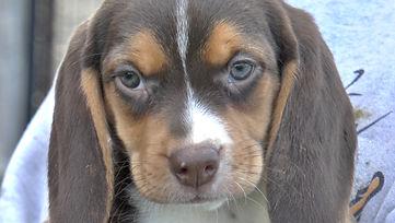 2020-05-06 Beagles F5972Camo Buddy (5)_2