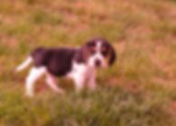 Beagles M 361 Willow_1.JPG
