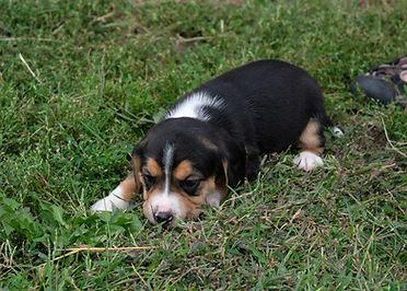 2020-09-27 Beagles F2 2 Maggie Buddy (29