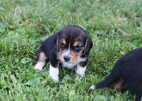 2021-06-01 Beagles F1 2  Willow Buddy (1