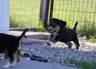 2021-06-23 Beagles Willow Buddy (251).jpg