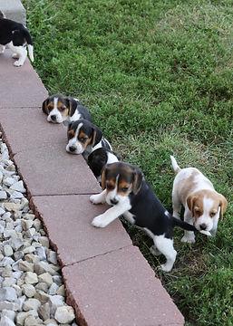 2021-09-09 Beagles 14 Penny Batman (225).jpg