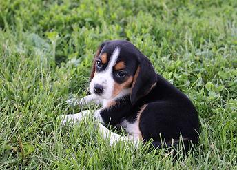 2021-06-02 Beagles F2 6 Camo Buddy F2 (2