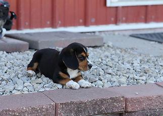 2021-06-23 Beagles Willow Buddy (277).jpg