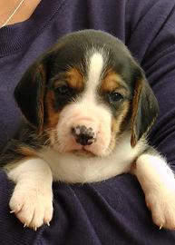 2020-09-27 Beagles M2 Maggie Buddy (15).