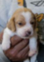 2020-05-07 Beagles F5981 Penny Batman.jp