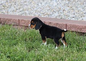 2021-06-02 Beagles Pixie 9 Camo Buddy (3