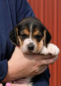 2020-09-27 Beagles F1 1 Maggie Buddy (10