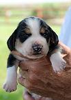 2020-09-15 Beagles M1 1 Maggie Buddy (2)