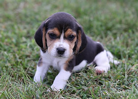 2021-09-09 Beagles M2858 2 Penny Batman (87).jpg