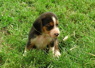 2020-09-27 Beagles M2 Maggie Buddy (14).