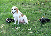 2020-09-15 Maggie with Beagles 2.jpg