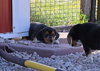 2021-06-23 Beagles Willow Buddy (279) 2.jpg