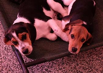 2018-12-05 Beagles Fred Skye Willow 3Rac