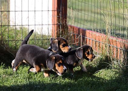 2021-06-23 Beagles Willow Buddy (202).jpg