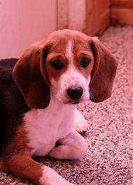2018-12-05 Beagles Fritz WillowRachel Be