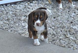 2020-05-06 Beagles M5974 Camo Buddy (10)