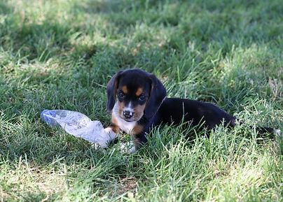 2021-06-13 Beagles Pixie Camo Buddy (55)