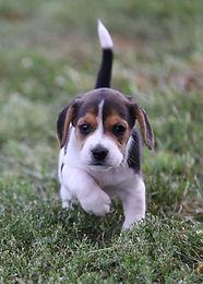 2021-09-09 Beagles 13 Penny Batman (213).jpg