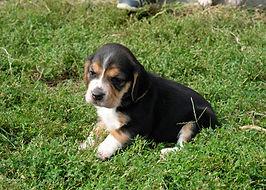 2020-09-27 Beagles F1 4  Maggie Buddy (1