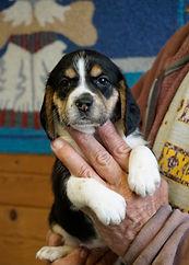 2020-11-25 Beagles F3993 Sadie Buddy (29