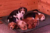 2018-12-05 Beagles (101)Rachel Berner re