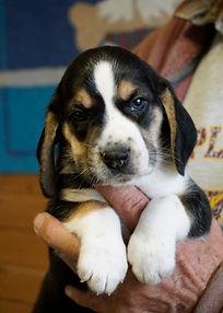 2020-11-25 Beagles M3998 Sadie Buddy z (