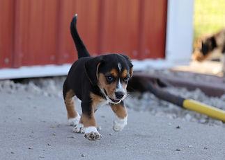 2021-06-23 Beagles Willow Buddy (293).jpg