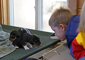 2021-02-28 Beagles Skye Buddy Tommy 3.jp