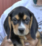 2020-05-06 Beagles F5964 Camo Buddy (3)_