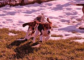 2018-12-05 Beagles (521)Rachel Berner re