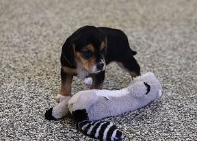2021-03-10 Beagles Skye Buddy (14).jpg