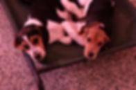 2018-12-05 Beagles (58)Rachel Berner rec
