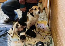2020-03-21 Beagles Sadie Litter.JPG