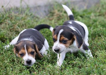 2021-09-09 Beagles M2860 4  Penny Batman (25).jpg