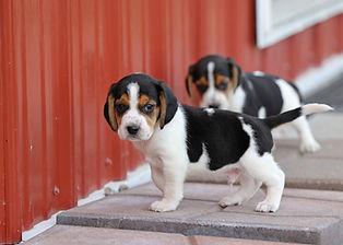 2021-09-09 Beagles 7 Penny Batman (178).jpg