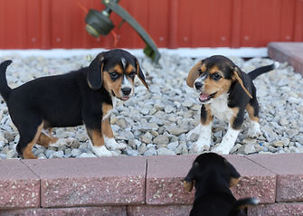 2021-06-23 Beagles Willow Buddy (246).jpg