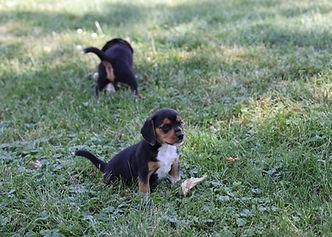 2021-06-19 Beagles Willow Buddy (50).jpg