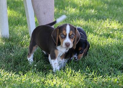 2021-06-13 Beagles M2852 Chocolate Camo