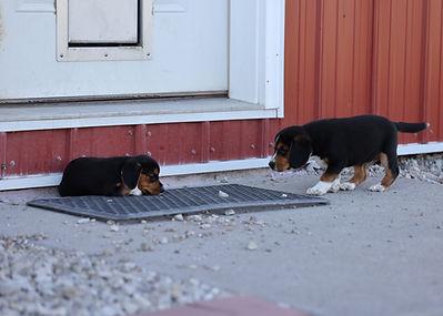 2021-06-23 Beagles Willow Buddy (289).jpg